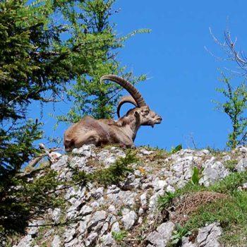 Alpine ibex at Teichalm, Almenland, Styria, Austria