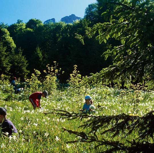 Children picking dafodills for the Daffodil Festival – Narzissenfest in Ausseerland, Styria, Austria